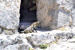 Iguanaville - Tulum Ruins